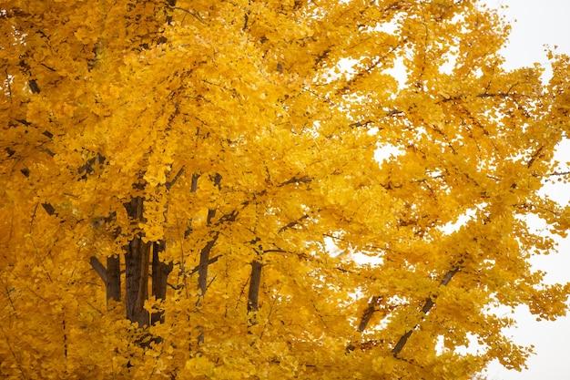 Yellow ginkgo leaves glittering in autumn