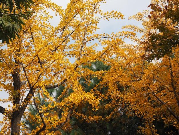 노란 은행나무 잎 나뭇가지 배경