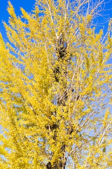 Yellow ginko tree with blue sky in japan.