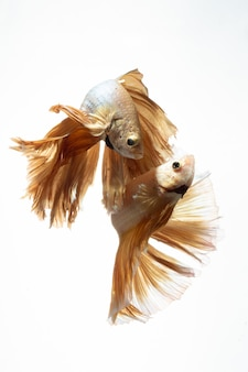 Yellow gold color of siamese fighting fish betta movement on white background