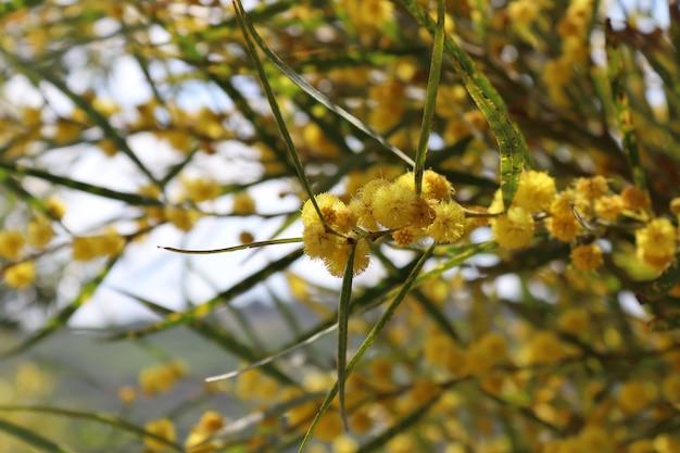 夏の季節の夏の背景の日光の下でイエローゴールドの花畑