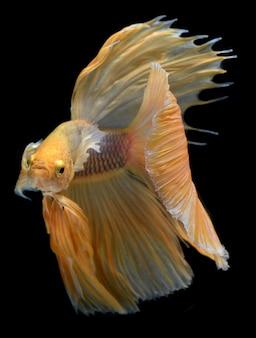 Yellow golden colorful  waver of betta saimese fighting fish