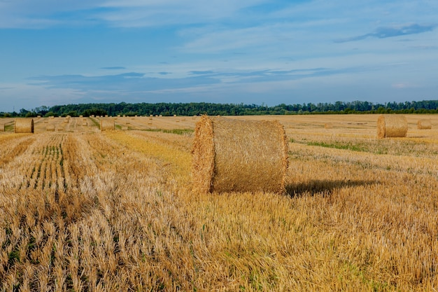 Yellow golden straw bales of hay in the stubble field, agricultural field under