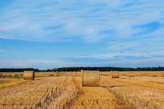 Желтые золотые соломенные тюки сена в стерне, сельскохозяйственное поле под голубым небом с облаками. солома на лугу. сельский природный ландшафт. урожай зерновых, уборка урожая.