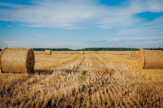 Желтые золотые соломенные тюки сена в стерне, сельскохозяйственное поле под