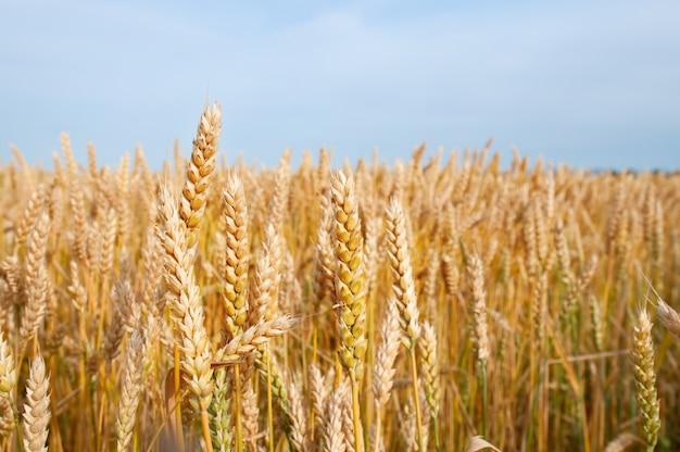 黄色の穀物は農場で育つ収穫の準備ができて