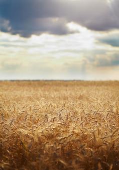 収穫の準備ができている黄色い穀物