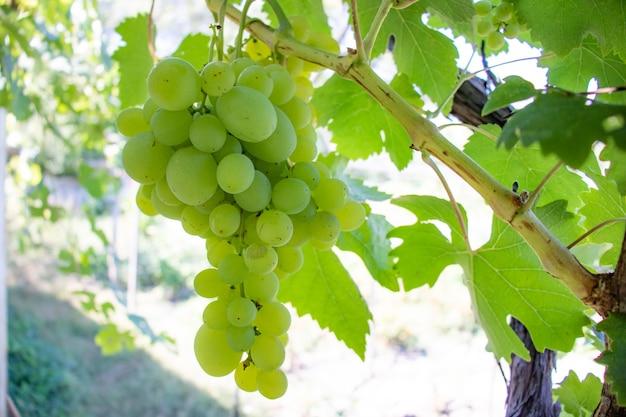 Желтый виноград на лозе