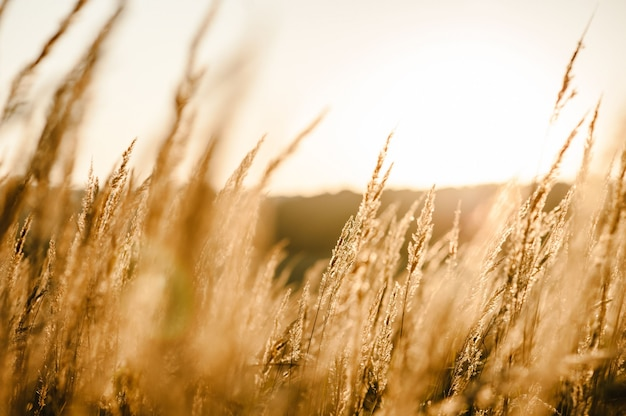 Yellow grass on the field in the sunlight at sunset. stunning meadow sunrise with bokeh light.