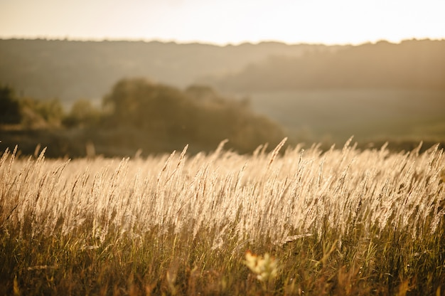 Yellow grass on the field in the sunlight at sunset. world, country environment day concept. stunning meadow sunrise with bokeh light. autumn, spring, summer.
