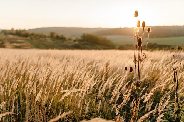 석양 햇빛에 필드에 노란 잔디. 세계, 국가 환경의 날 개념. bokeh 빛으로 멋진 초원 일출. 가을, 봄, 여름.