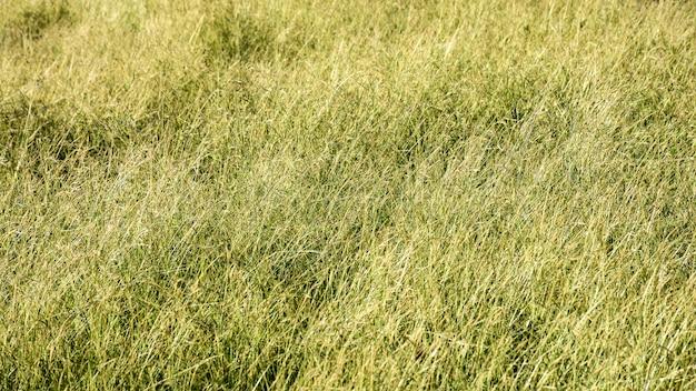 Yellow grass in winter
