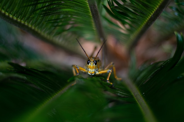 Yellow grasshopper sitting on grass in a garden surrounded by greenery with a blurry background