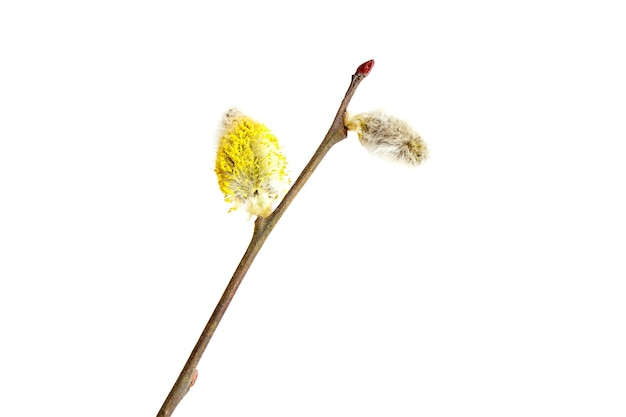 Yellow and gray catkins, flowering pussy willow branch isolated