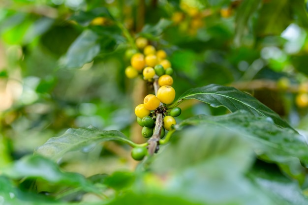 Yellow and green cheery coffee fruits on a branch.