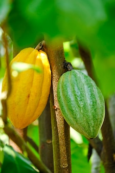 Yellow and green cocoa pods grow on the tree - the cocoa tree plant organic chocolate farm