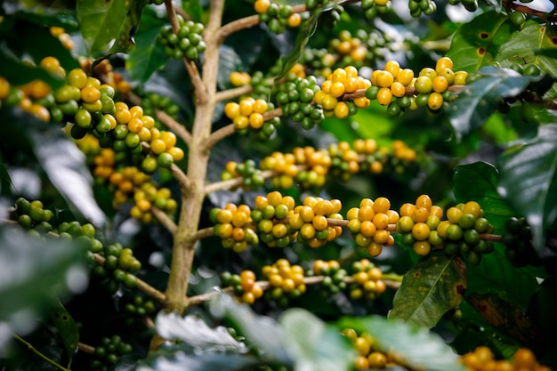 Yellow and green coffee beans organic 100% of coffee plant before harvesting at chiang rai thailand