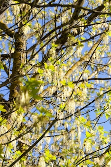 森や公園で春の黄緑色のカエデの花、青い空をクローズアップ
