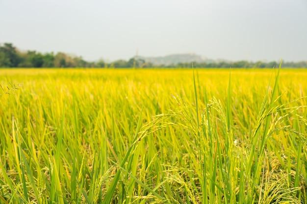 Yellow green rice field