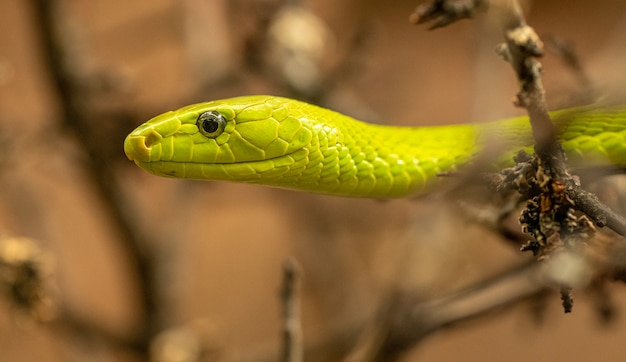 Портрет желто-зеленой змеи среди веток