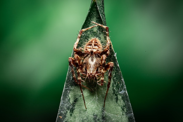 The yellow-haired spider on the leaf