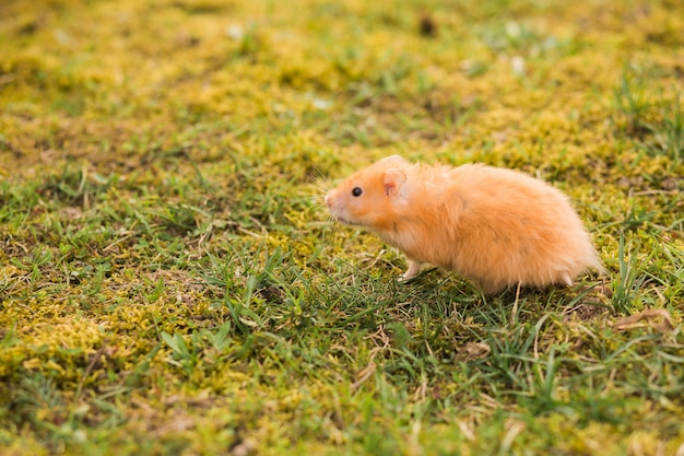 Yellow hamster walking in the grass