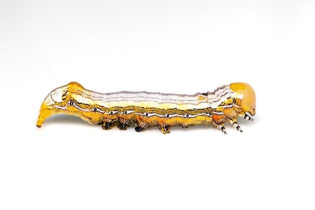 노란색 향하고 나비 애벌레 절연입니다. 동물. 곤충.