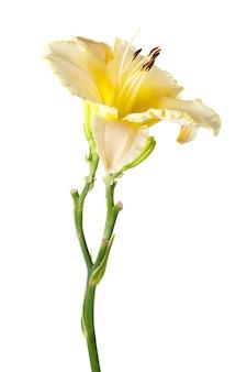 黄色のヘメロカリス、庭の花、白い表面に分離されました。