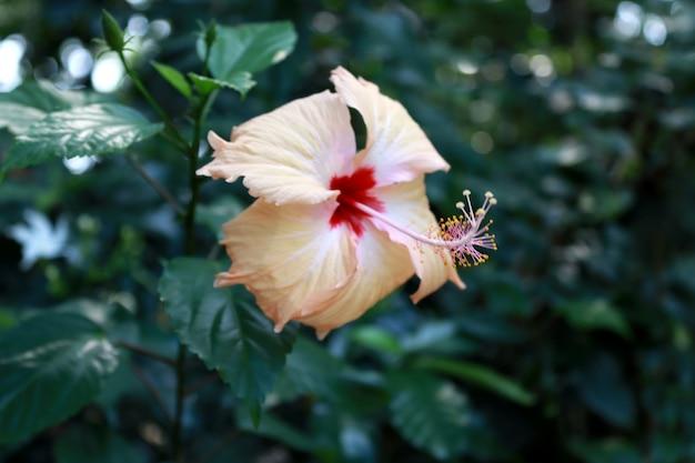 庭の黄色いハイビスカスの花