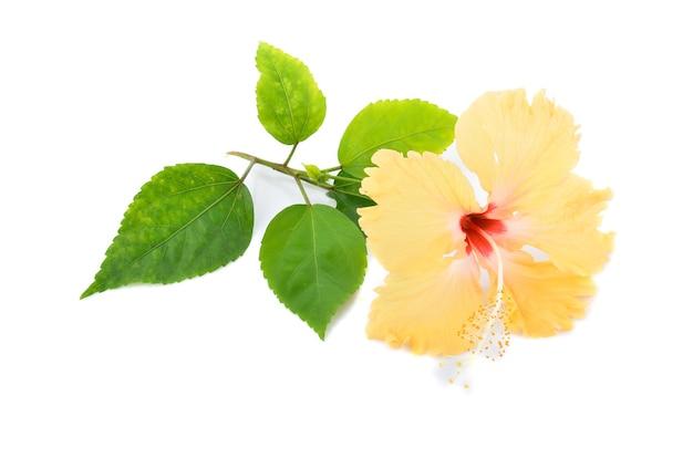 白い背景で隔離黄色のハイビスカスの花