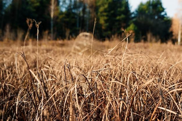 Yellow, high, autumn grass close-up.