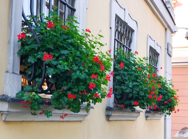 Yellow house with flower pots with bright red flowers and lush greenery on windows of the building