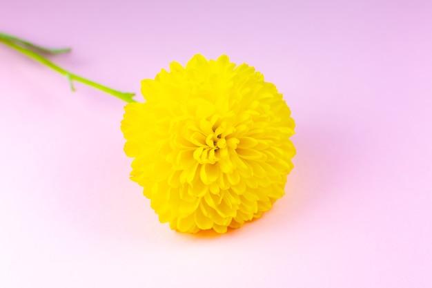 ピンクの背景に黄色の菊の花。ナチュラルエコ製品、ネイチャーコンセプト。花があります。バレンタイン・デー。