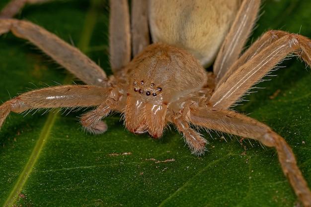 종의 노란 사냥꾼 거미 가족 sparassidae