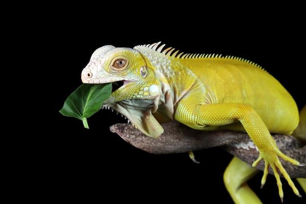 노란 이구아나가 나뭇가지에 녹색 채소를 먹고 있다