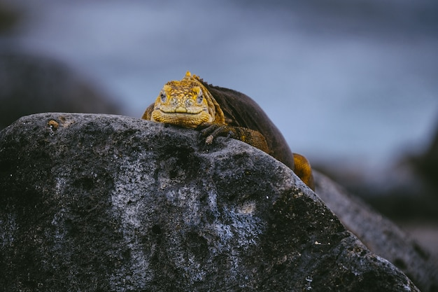 Yellow iguana on a rock looking towards the camera with blurred background