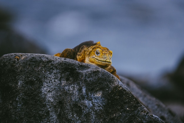 Yellow iguana walking on a rock with blurred