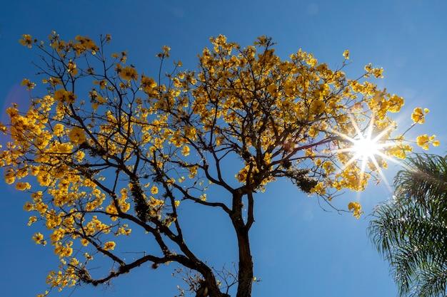 가지 사이에 별이 빛나는 태양이 있는 노란색 ipe 나무