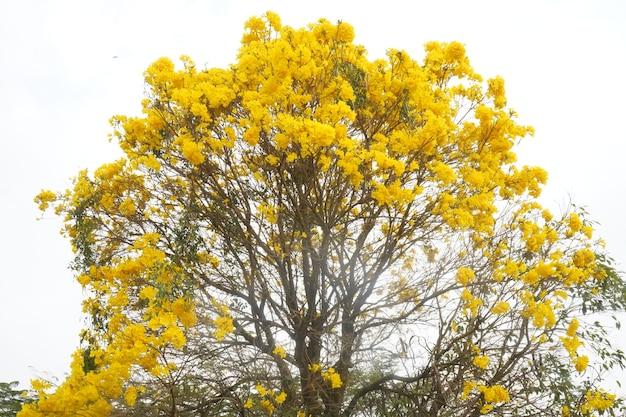 황금 트럼펫 농장의 노란 ipe 나무