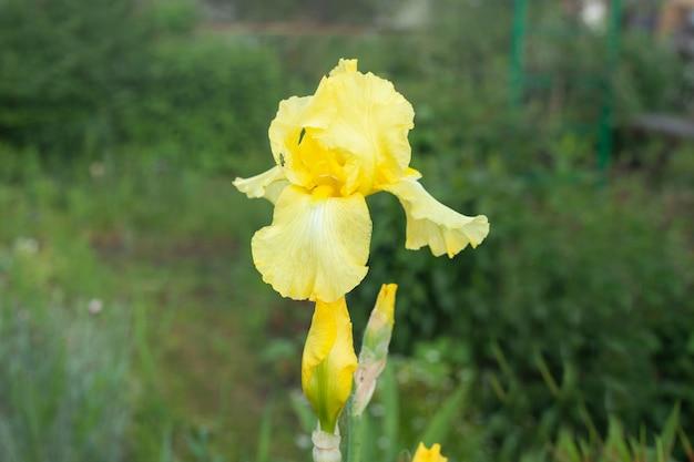 석양에 푸른 잔디에 노란색 아이리스