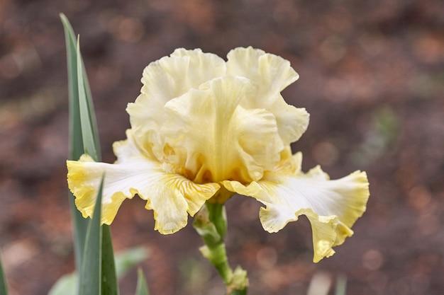 Yellow iris flower on a green background