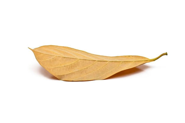 Yellow jackfruit leaf close view on isolated white background
