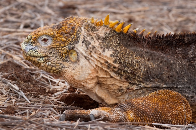 Yellow land iguana, endemic to the galapagos islands, ecuador