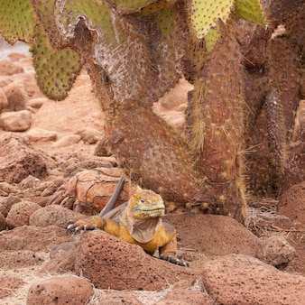 Yellow land iguana sitting on rock under a cactus. this reptile is endemic to the galapagos islands