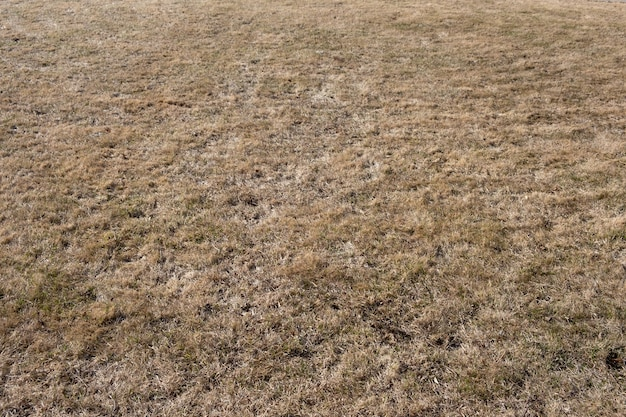 Yellow  lawn with dried grass