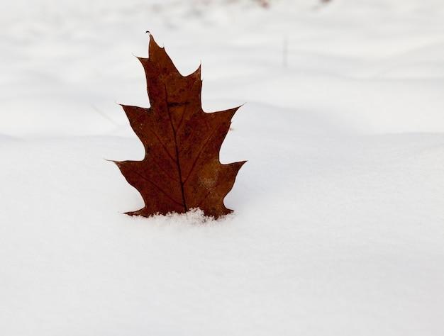 Желтый лист дуба, торчащий в снегу зимой. крупный план, небольшая глубина резкости