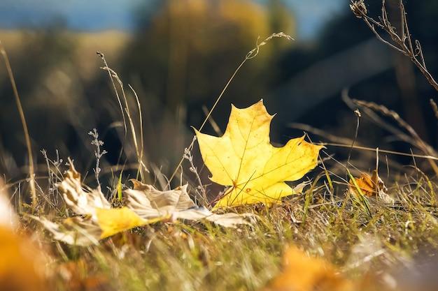 晴れた秋の日に草の上のカエデの黄色の葉