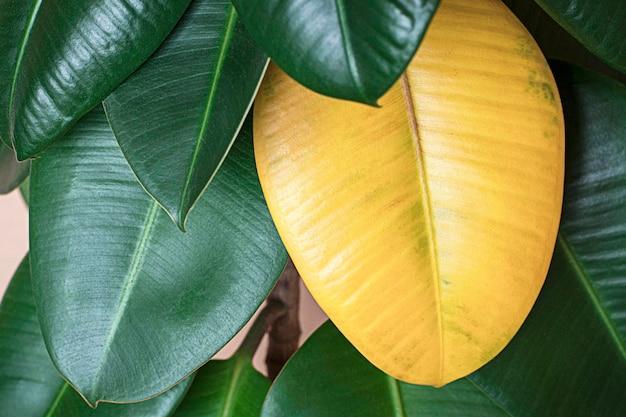 녹색 ficus elastica에 노란 잎, 관엽 식물 관리