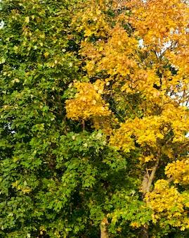 나란히 자라는 노란 잎과 녹색 단풍 단풍 나무