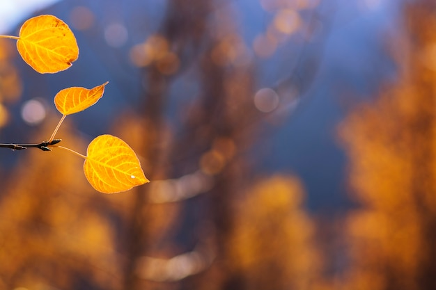 Yellow leaves in autumn. it can be used for background.